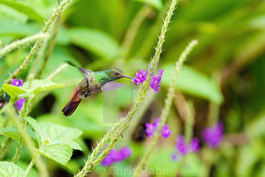 """Rufous-Tailed Hummingbird (Amazilia tzacatl) eating nectar from a flower,..."" stock image"