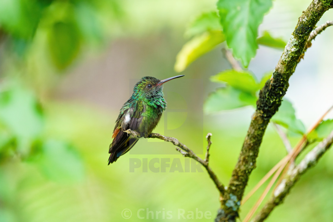 """Rufous-Tailed Hummingbird (Amazilia tzacatl) perched on the tip of a twig,..."" stock image"