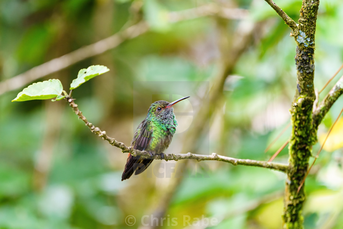 """Rufous-Tailed Hummingbird (Amazilia tzacatl) sitting on a small branch, taken..."" stock image"