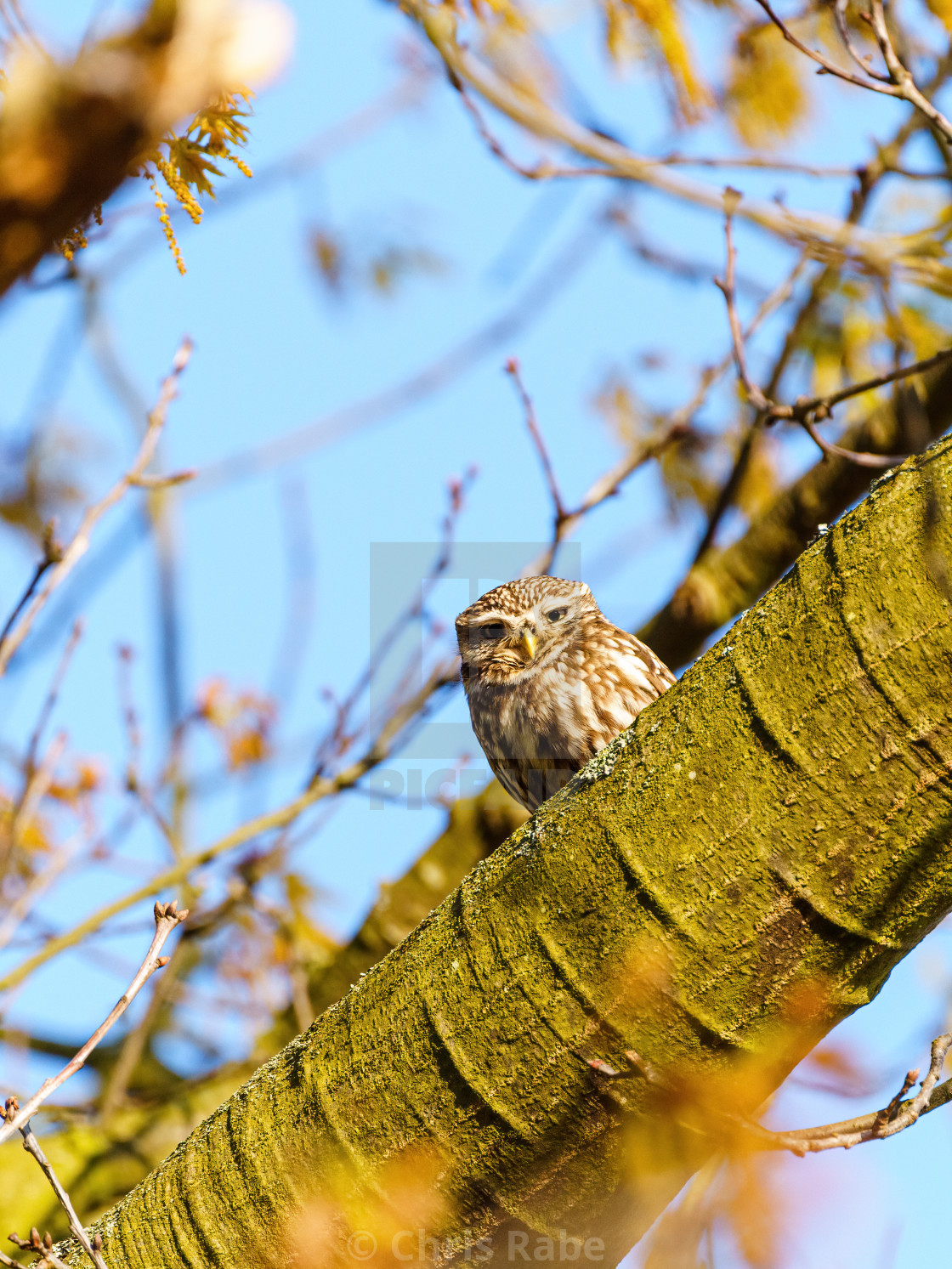 """Little Owl (Athene noctua) in autumn, taken in the UK"" stock image"