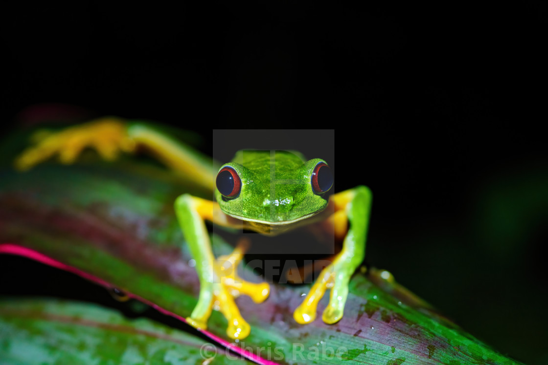 """Red-Eyed Tree Frog (Agalychnis callidryas) close-up, looking into camera,..."" stock image"