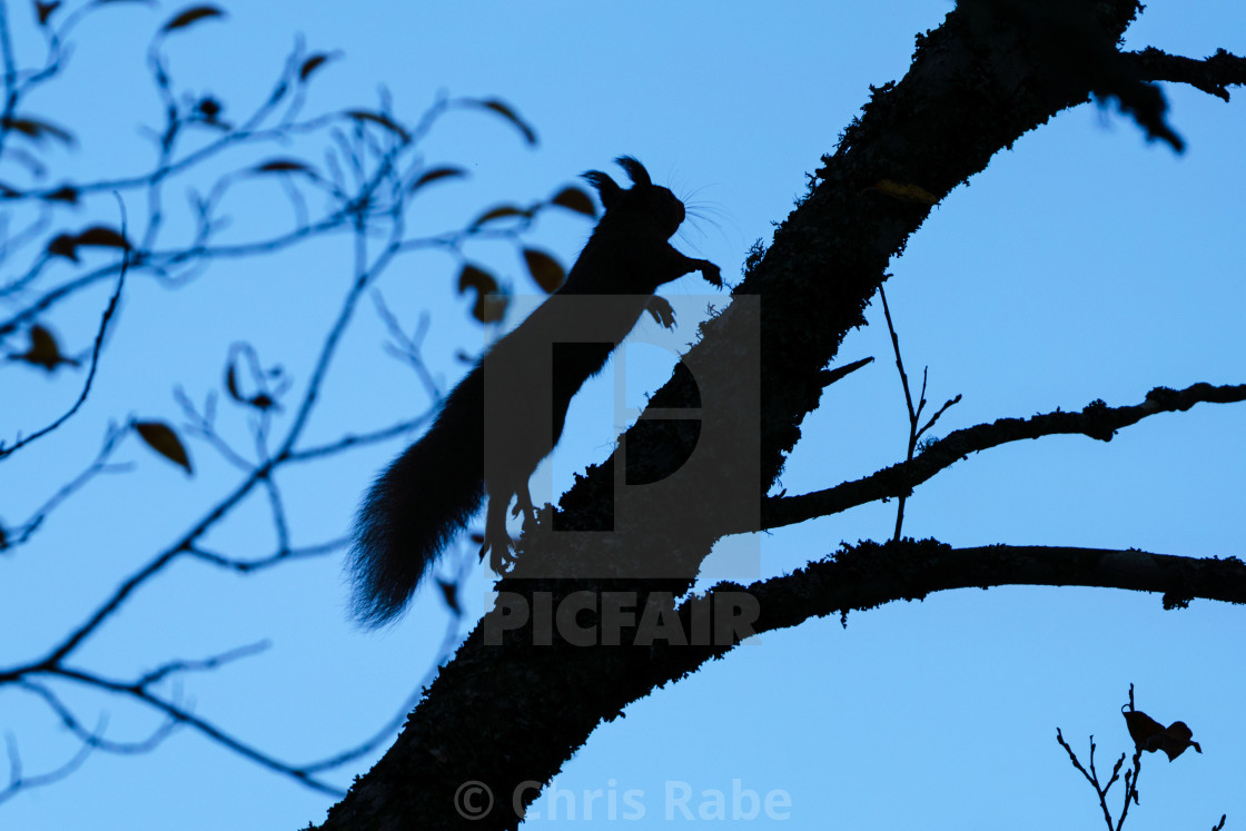 """Silhouette of a red squirrel (Sciurus vulgaris) running up a tree at dawn, in..."" stock image"