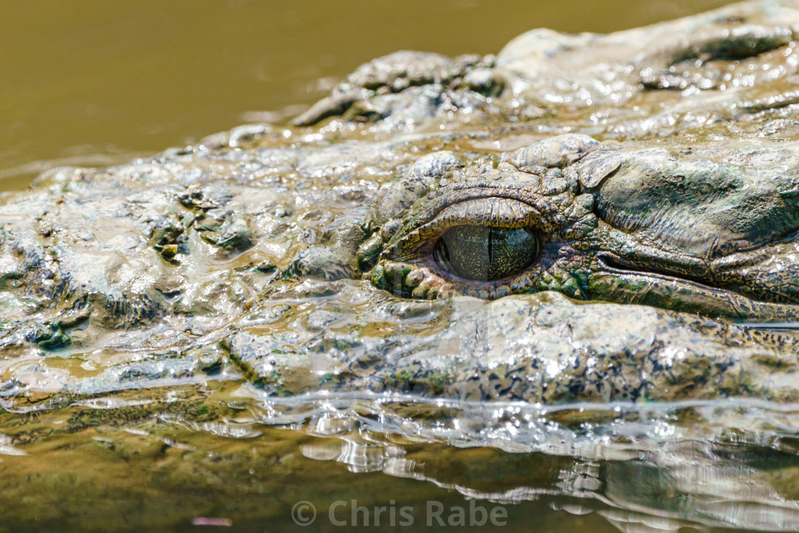 """Close-up of American Crocodile (Crocodylus acutus), taken in Costa Rica."" stock image"
