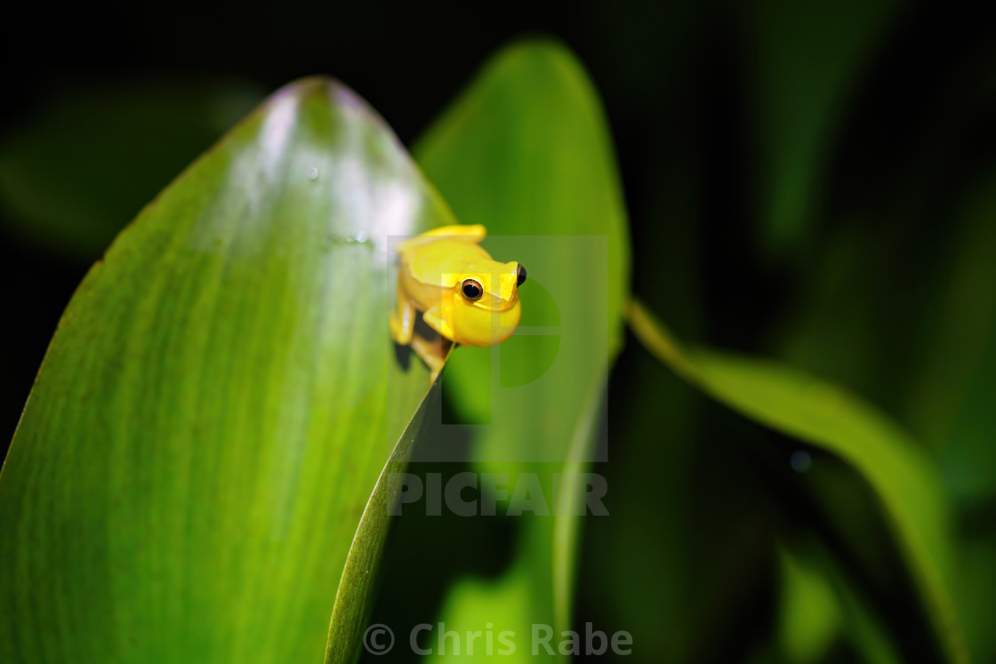 """Small-headed tree frog (Hyla microcephala) sitting on top of the edge of a..."" stock image"