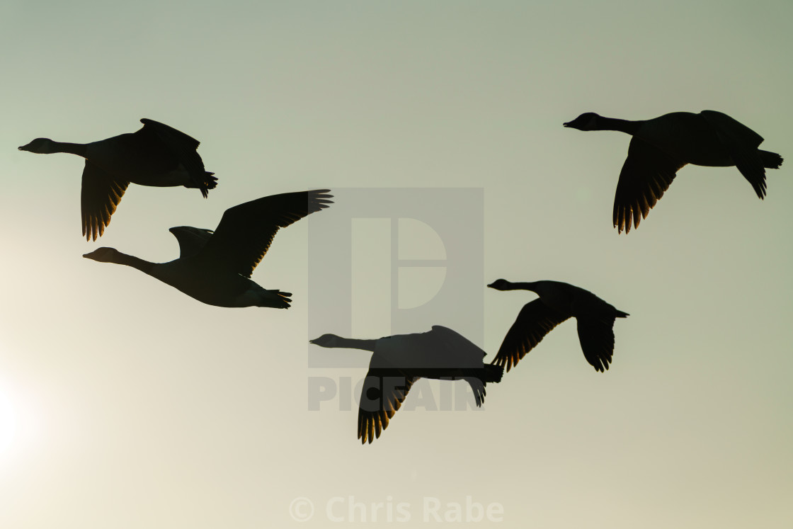 """Silhouette of Canada Goose (Branta canadensis) in flight"" stock image"