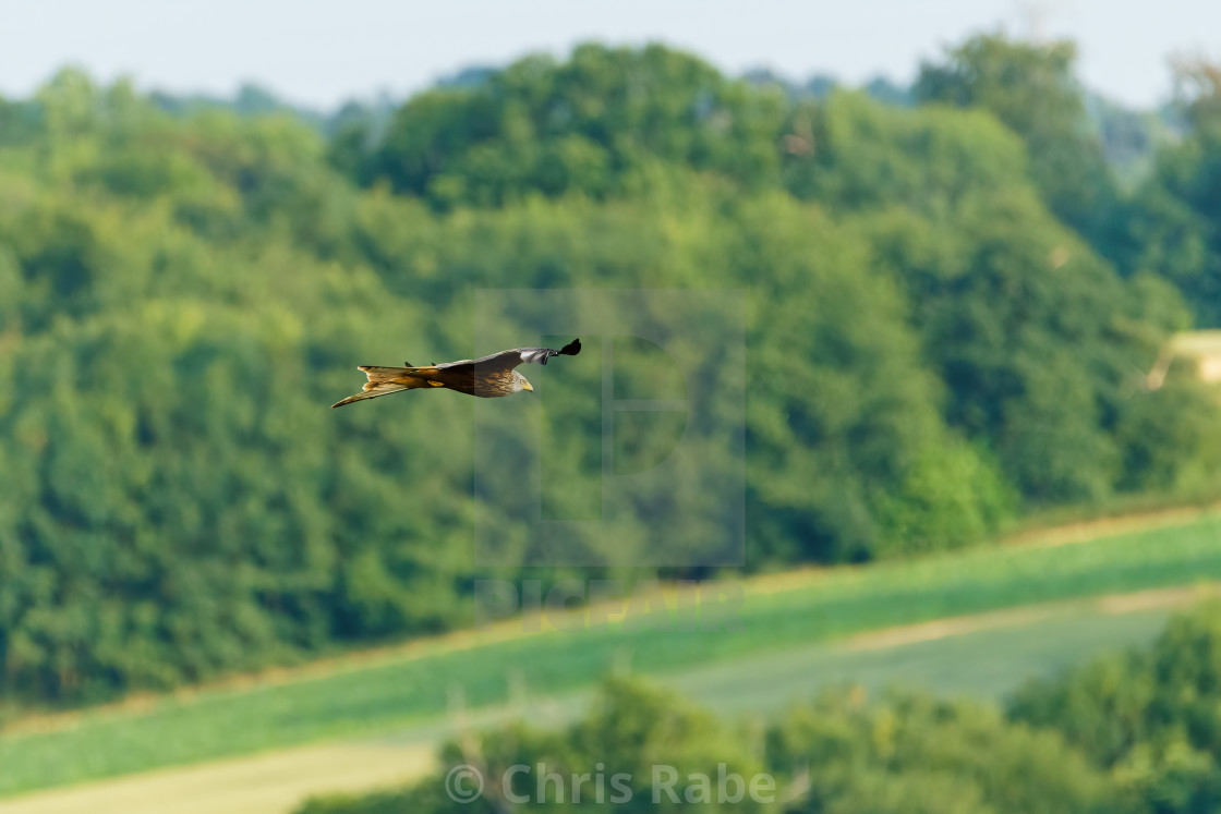"""Red Kite (Milvus milvus) in flight over famers in the Chiltern Hills"" stock image"