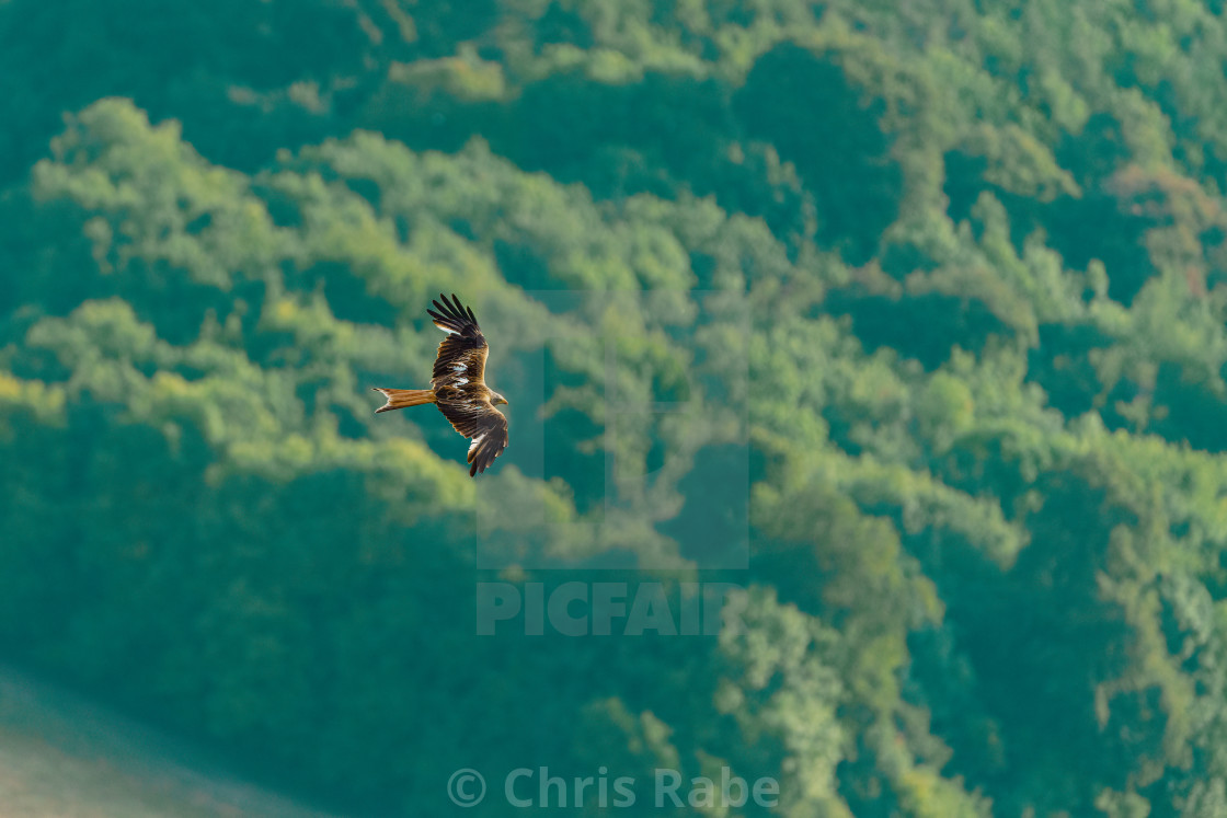 """Red Kite (Milvus milvus) in flight over forest in the Chiltern Hills"" stock image"