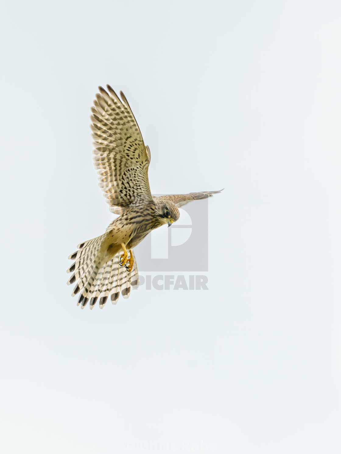 """Common Kestrel (Falco tinnunculus) hovering, hunting for food, taken in London"" stock image"