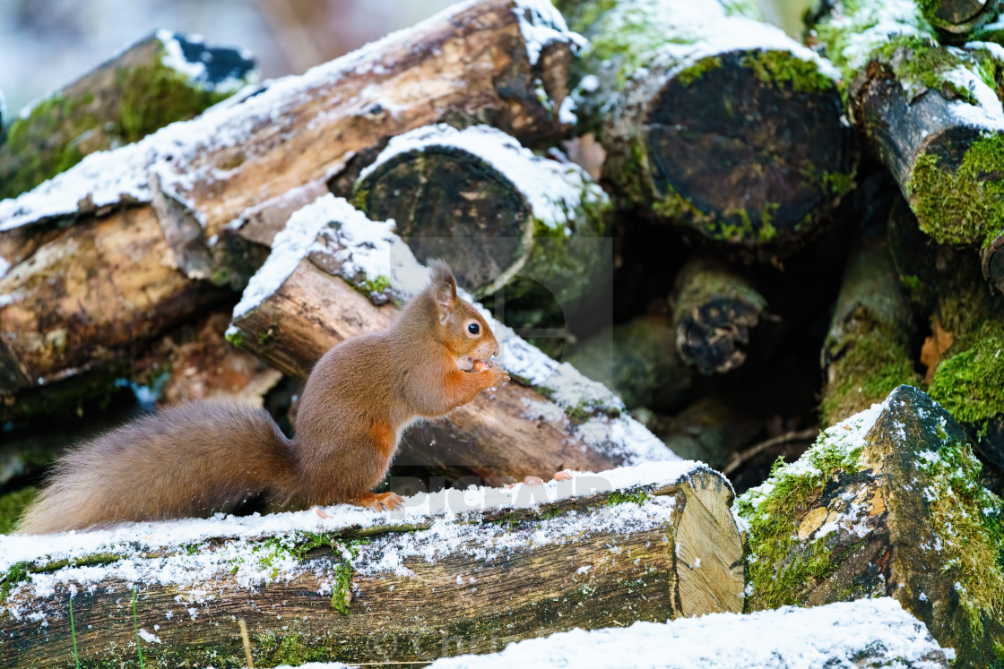 """red squirrel (Sciurus vulgaris) on some logs in some light snow in Scotland"" stock image"