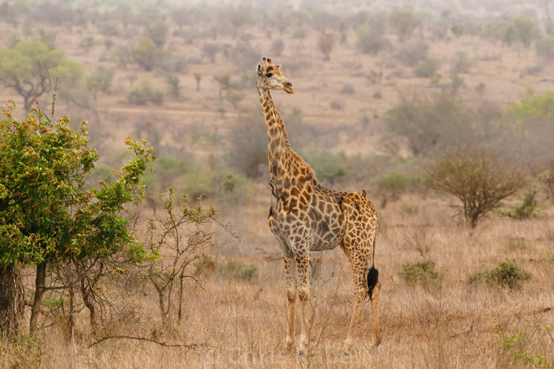 """Giraffe (Giraffa camelopardalis) in early morning light, in Kruger Park South..."" stock image"