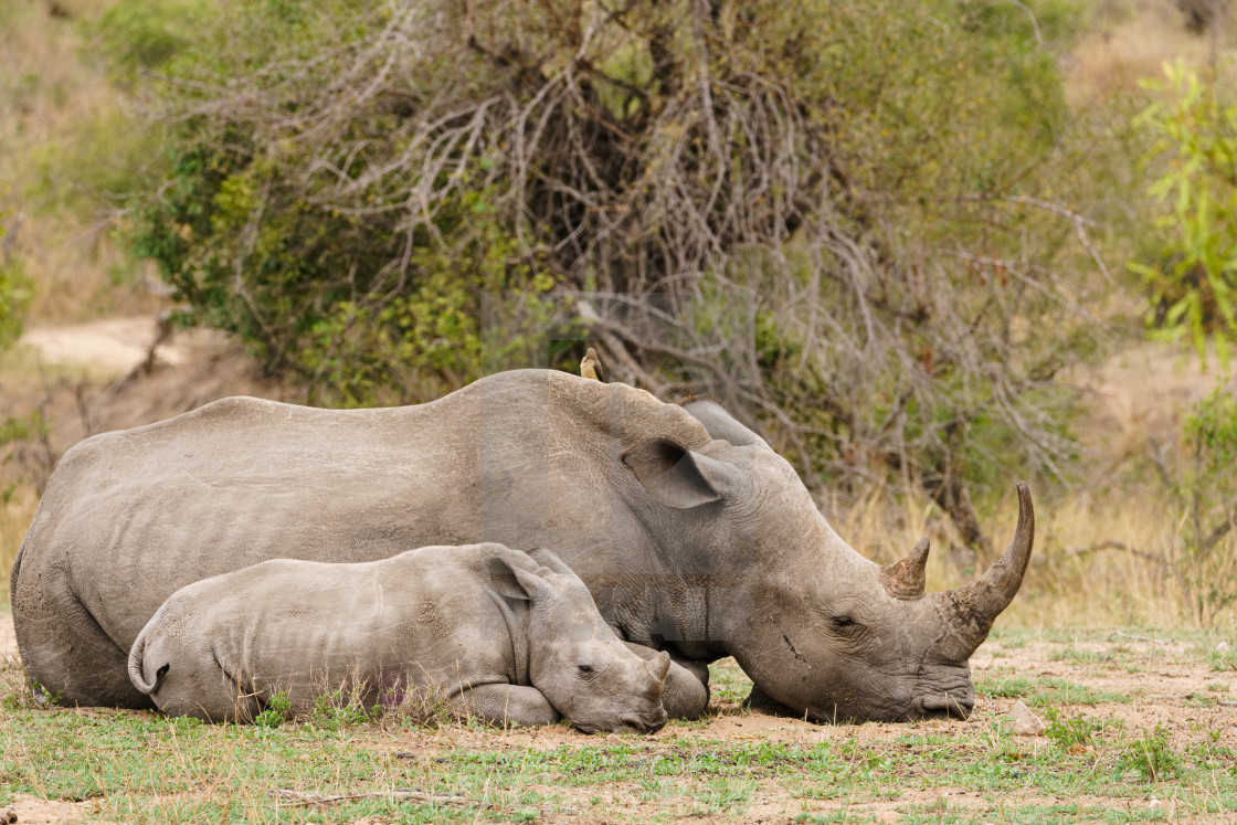 """Mother and baby White Rhinoceros (Ceratotherium simum), resting in bush in..."" stock image"