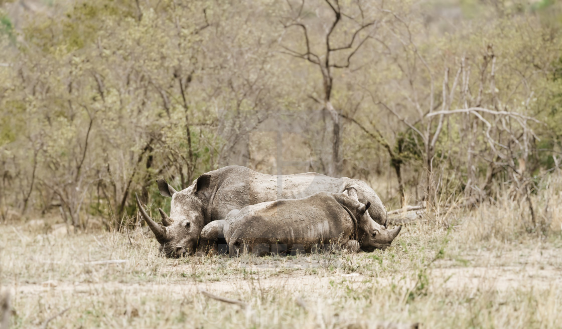 """White Rhinoceros (Ceratotherium simum) mother and baby resting on a hto day..."" stock image"