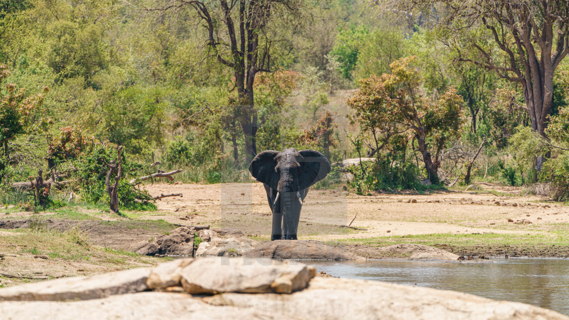 """A large solitary bull African Elephant (Loxodonta africana) approaching a..."" stock image"