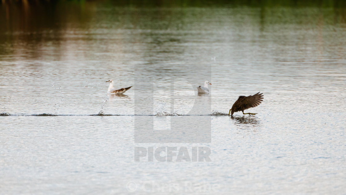"""Moorhen (Gallinula chloropus) dashing across a lake, in England"" stock image"