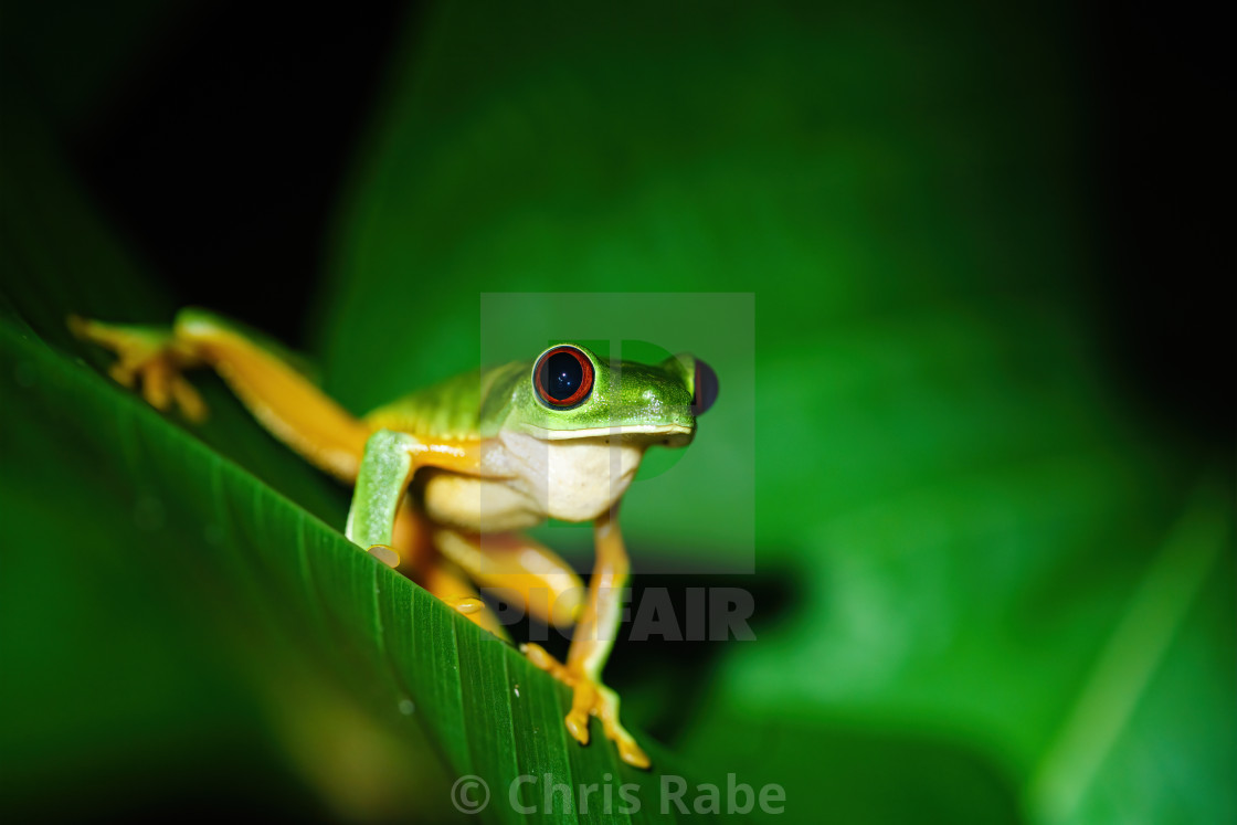 """Red-Eyed Tree Frog (Agalychnis callidryas) sitting on a leaf, taken in Costa..."" stock image"