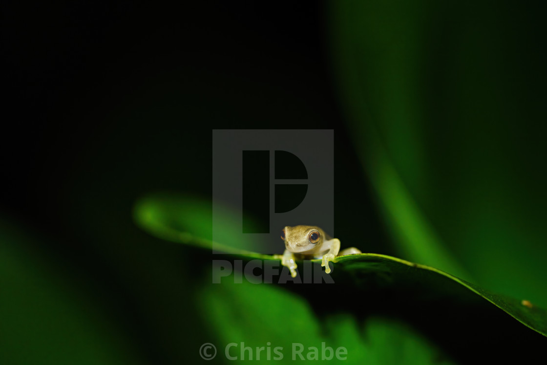 """Tiny baby frog sitting on a large plant macro close-up, taken in Costa Rica"" stock image"