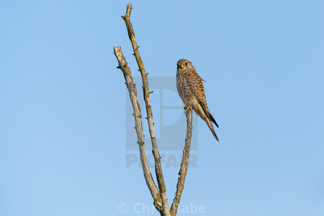 """Common Kestrel (Falco tinnunculus) sitting proudly at the top of a dead..."" stock image"