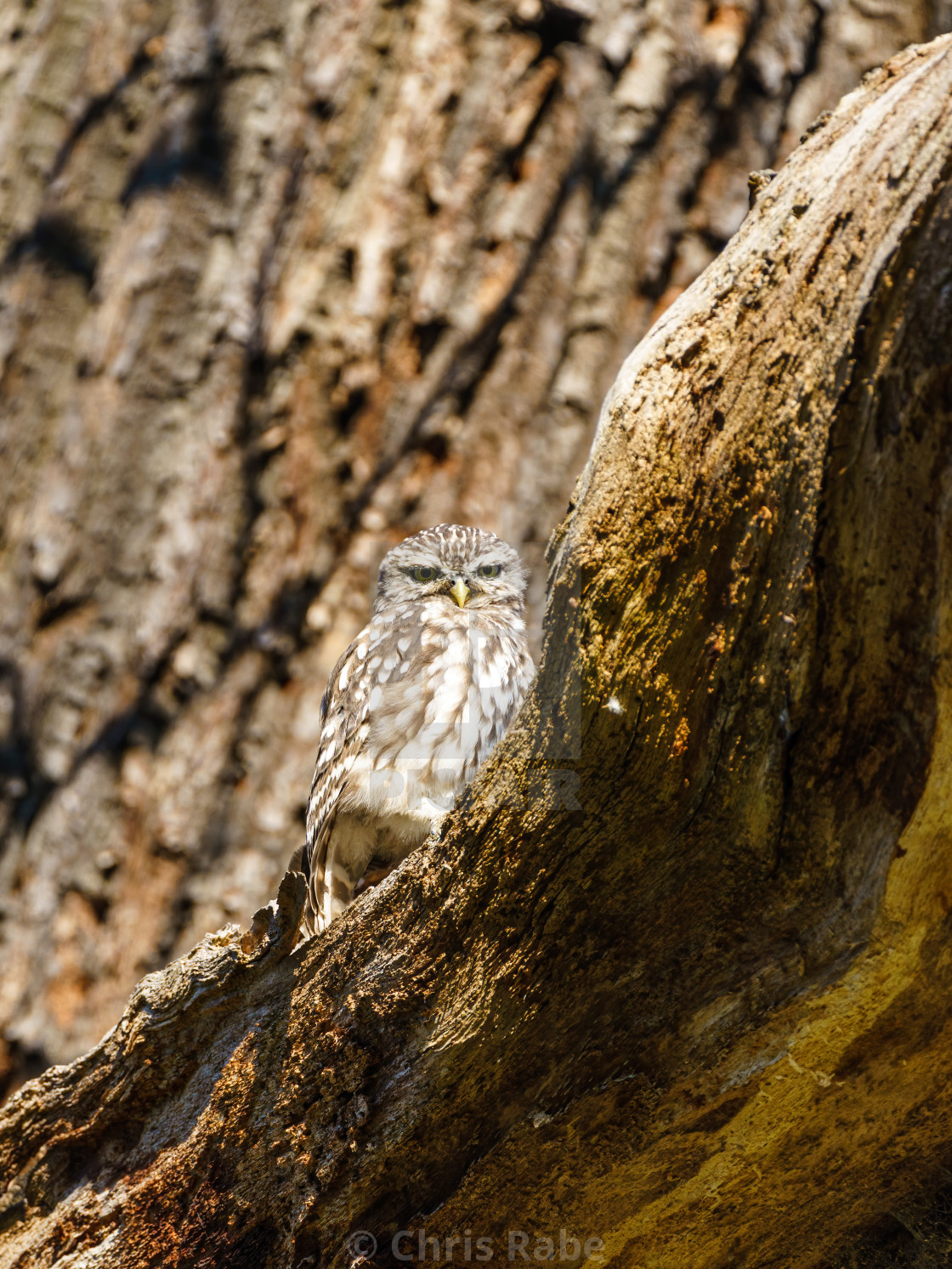 """Little Owl (Athene noctua) staring intently at camera, taken in England"" stock image"