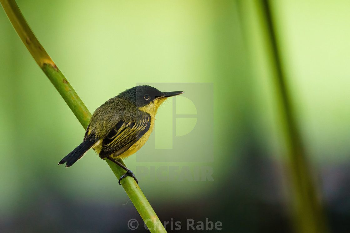 """Tody-flycatcher (Todirostrum cinereum) perched on a plant stem, taken in..."" stock image"