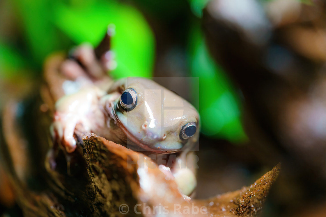"""White's Tree Frog (Litoria caerulea) on a piece of wood"" stock image"