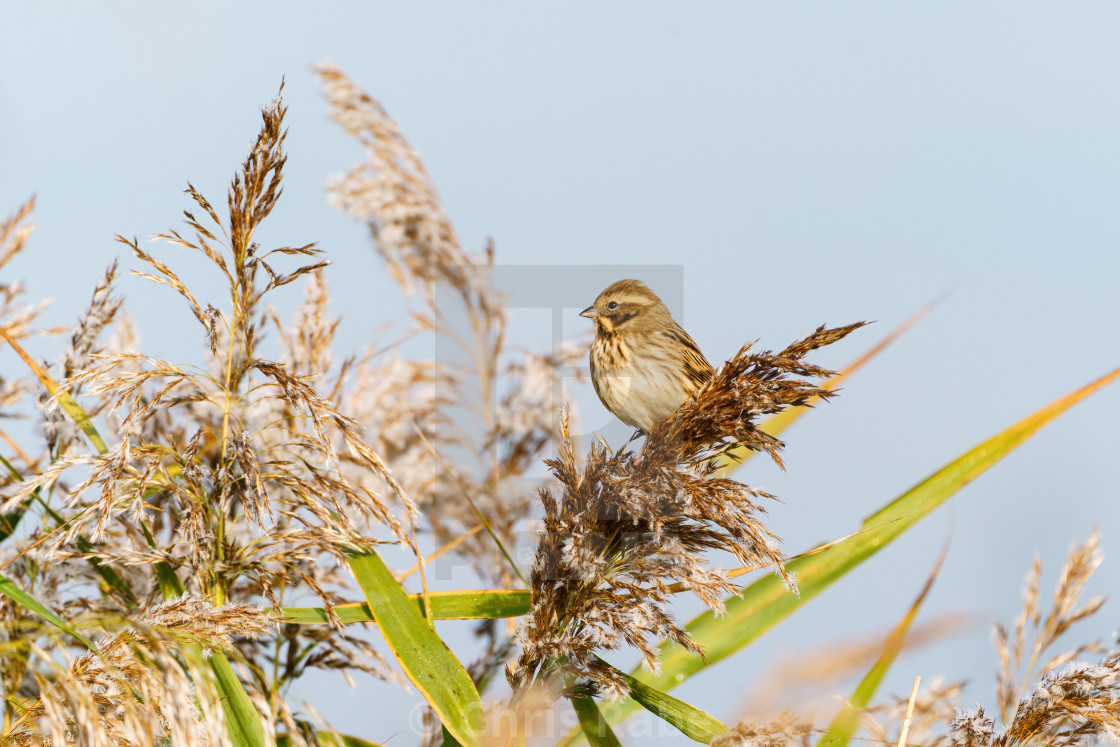 """Reed Bunting (Emberiza schoeniclus) sitting on some reeds, taken in the UK"" stock image"