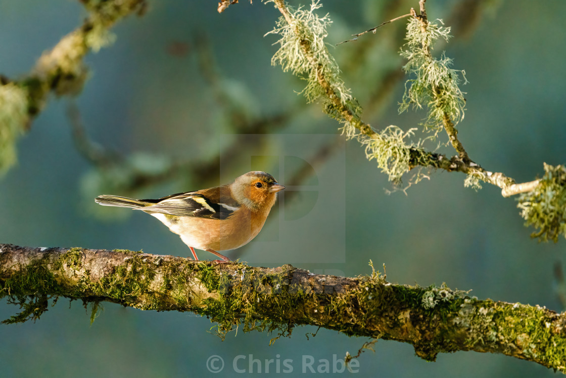 """Chaffinch perched on a branch as early morning light brightens it's colours,..."" stock image"