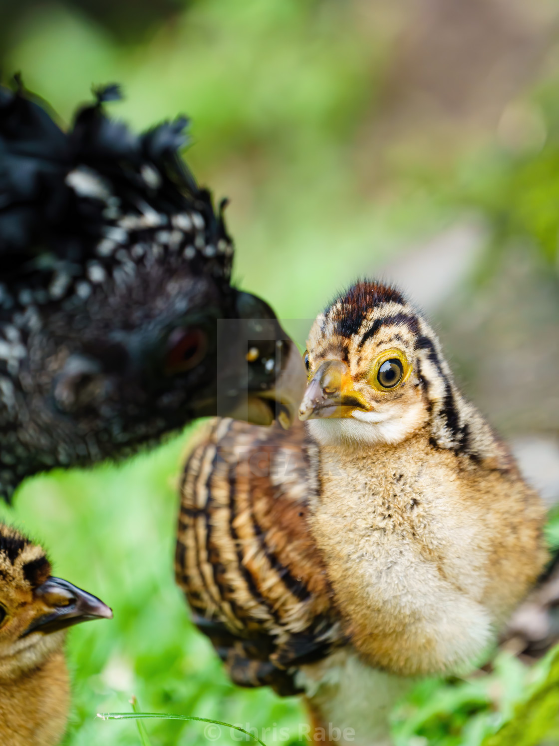"""Great Curassow (Crax rubra) chick waiting expectantly for food from it's..."" stock image"