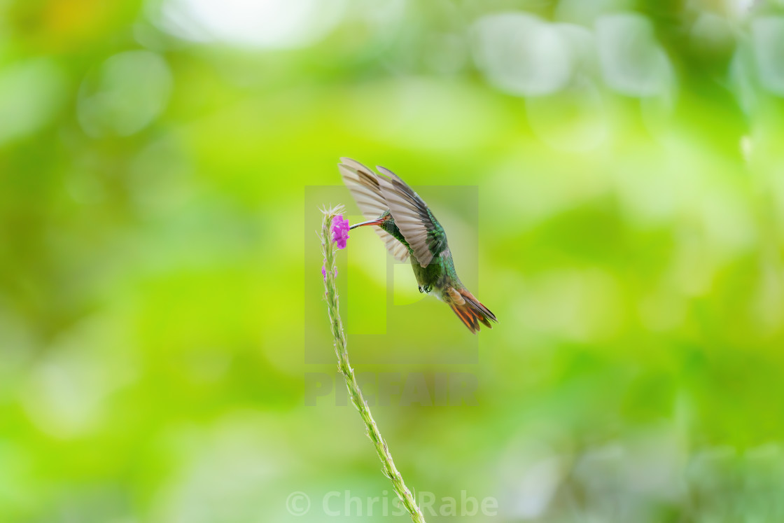 """Rufous-Tailed Hummingbird (Amazilia tzacatl) feeding off a flower in flight..."" stock image"