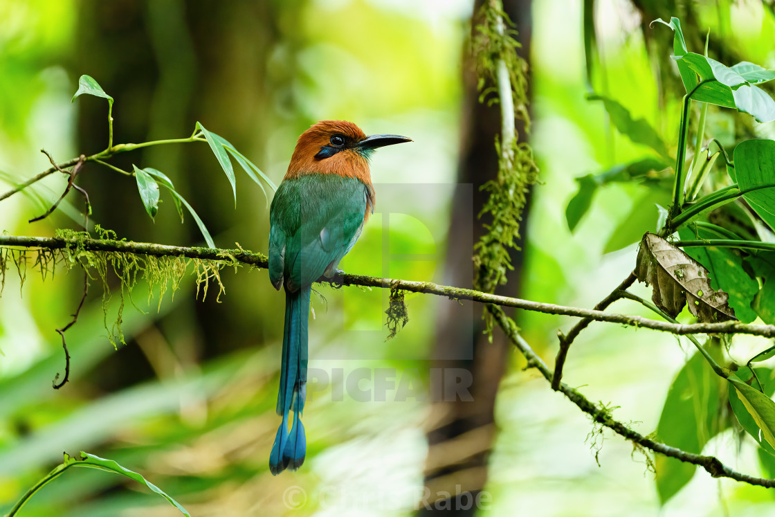 """Broad-billed Motmot (Electron platyrhynchum) in dense forest in Costa Rica"" stock image"