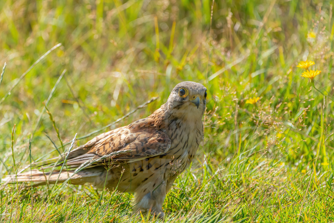 """Common Kestrel (Falco tinnunculus) Juvenile searching the ground for..."" stock image"