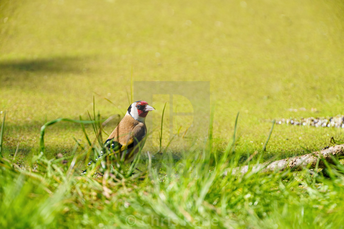 """European Goldfinch (Carduelis carduelis) in grass next to a pond in the UK"" stock image"