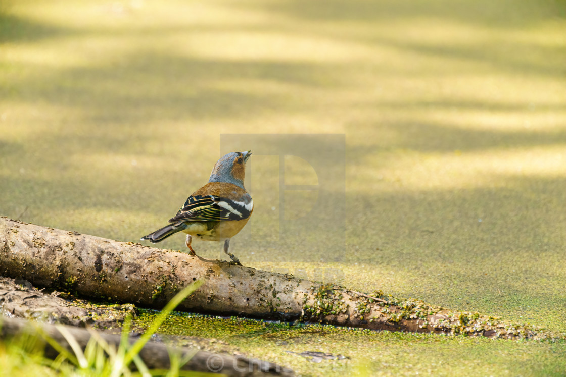 """Chaffinch (Fringilla coelebs) perched next too a green pond, taken in the UK"" stock image"