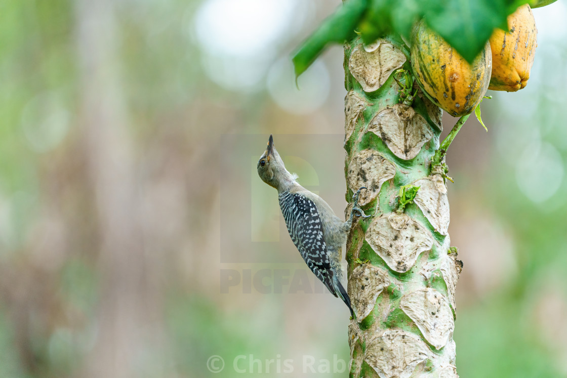 """Red-crowned Woodpecker (Melanerpes rubricapillus) climbing up a tree trunk,..."" stock image"