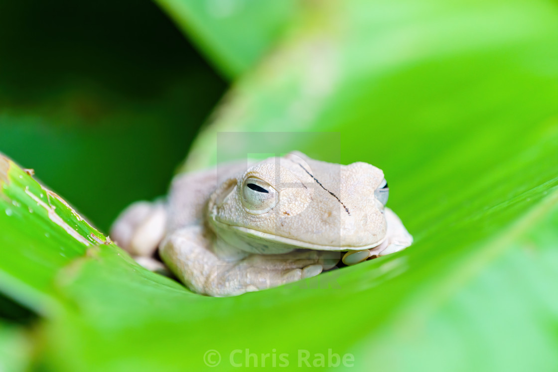 """Gladiator Tree Frog (Hypsiboas rosenbergi) close-up, taken in Costa Rica"" stock image"