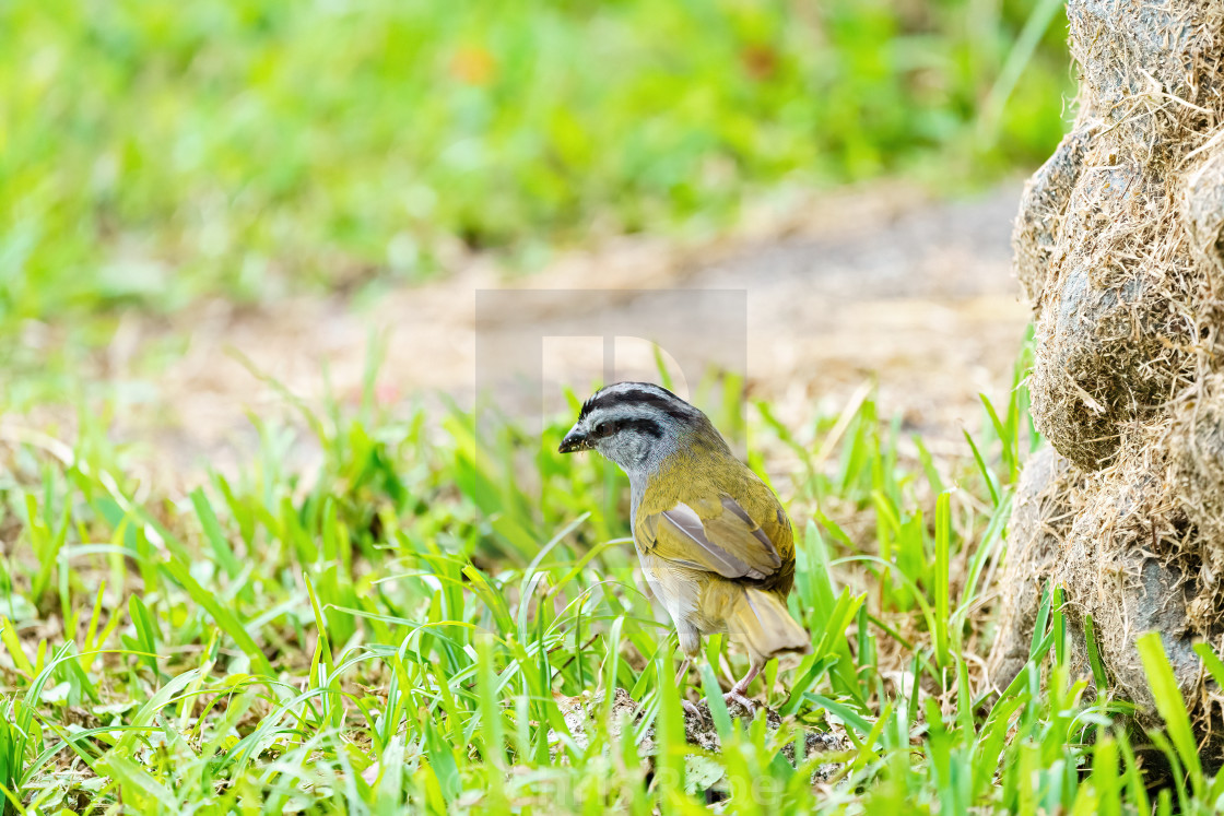 """""""Black-striped Sparrow (Arremonops conirostris) searchin in grass for food in..."""" stock image"""