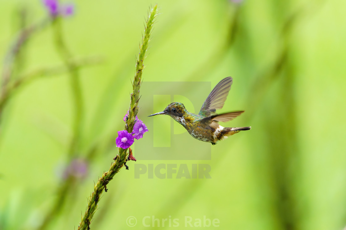 """Black-crested Coquette (Lophornis helenae) hovering in front of flower, taken..."" stock image"