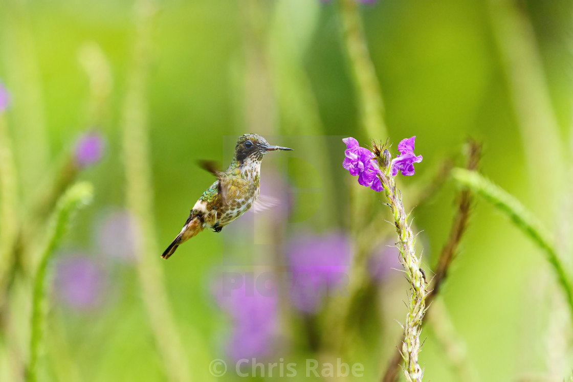 """Black-crested Coquette (Lophornis helenae) hummingbird hovering near flwoer..."" stock image"