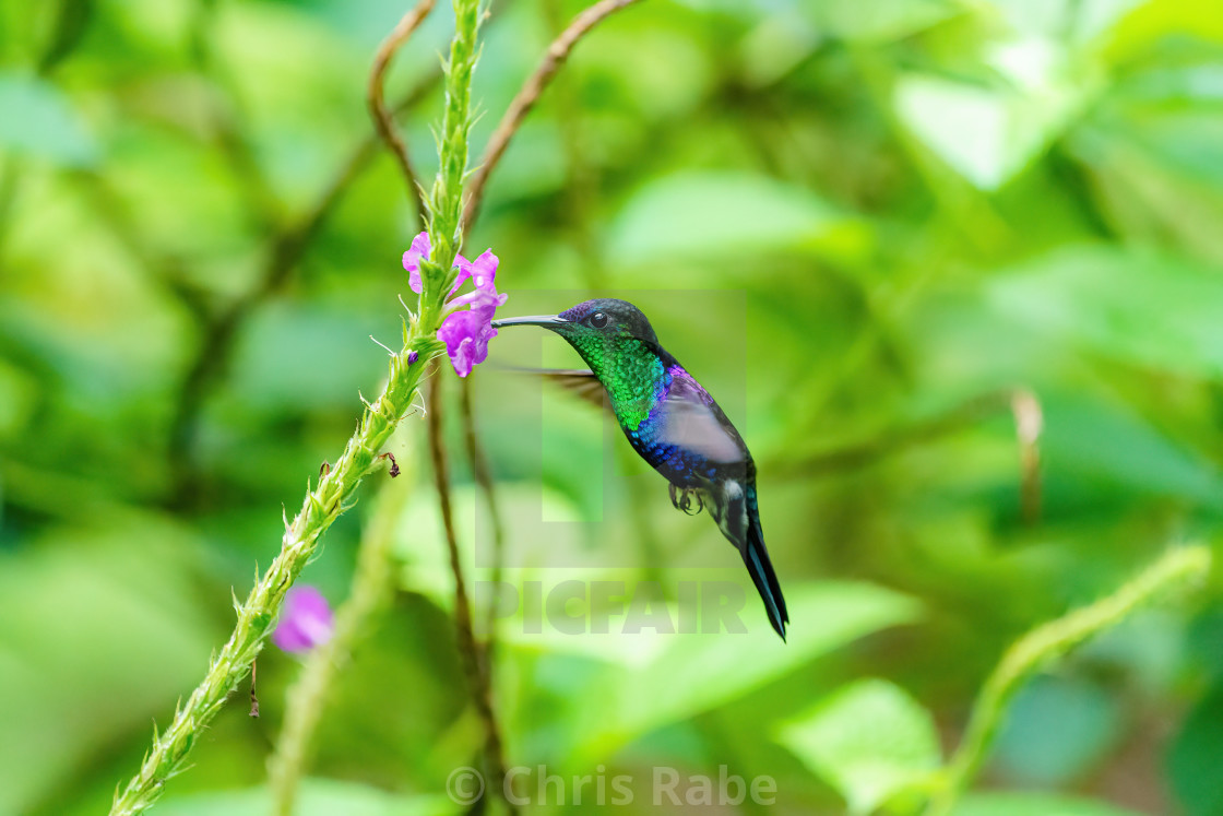 """violet-crowned woodnymph (Thalurania colombica colombica) feeding off a small..."" stock image"
