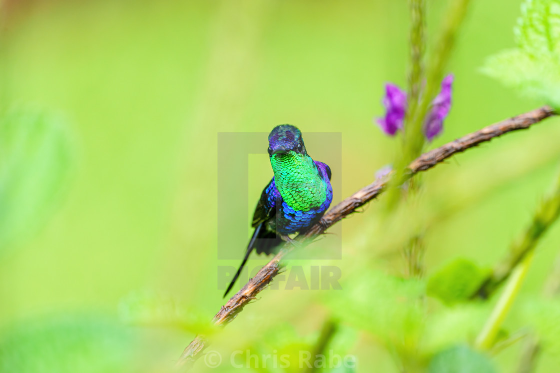 """violet-crowned woodnymph (Thalurania colombica colombica) staring at camera,..."" stock image"