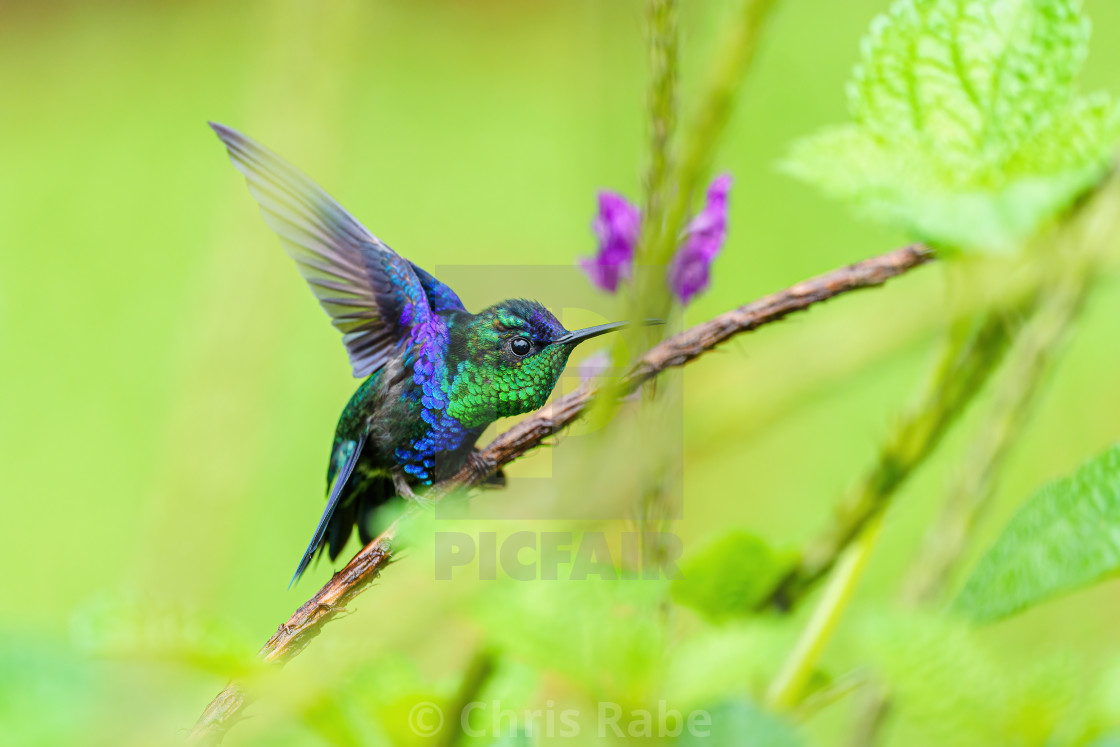 """violet-crowned woodnymph (Thalurania colombica colombica) stretching it's..."" stock image"