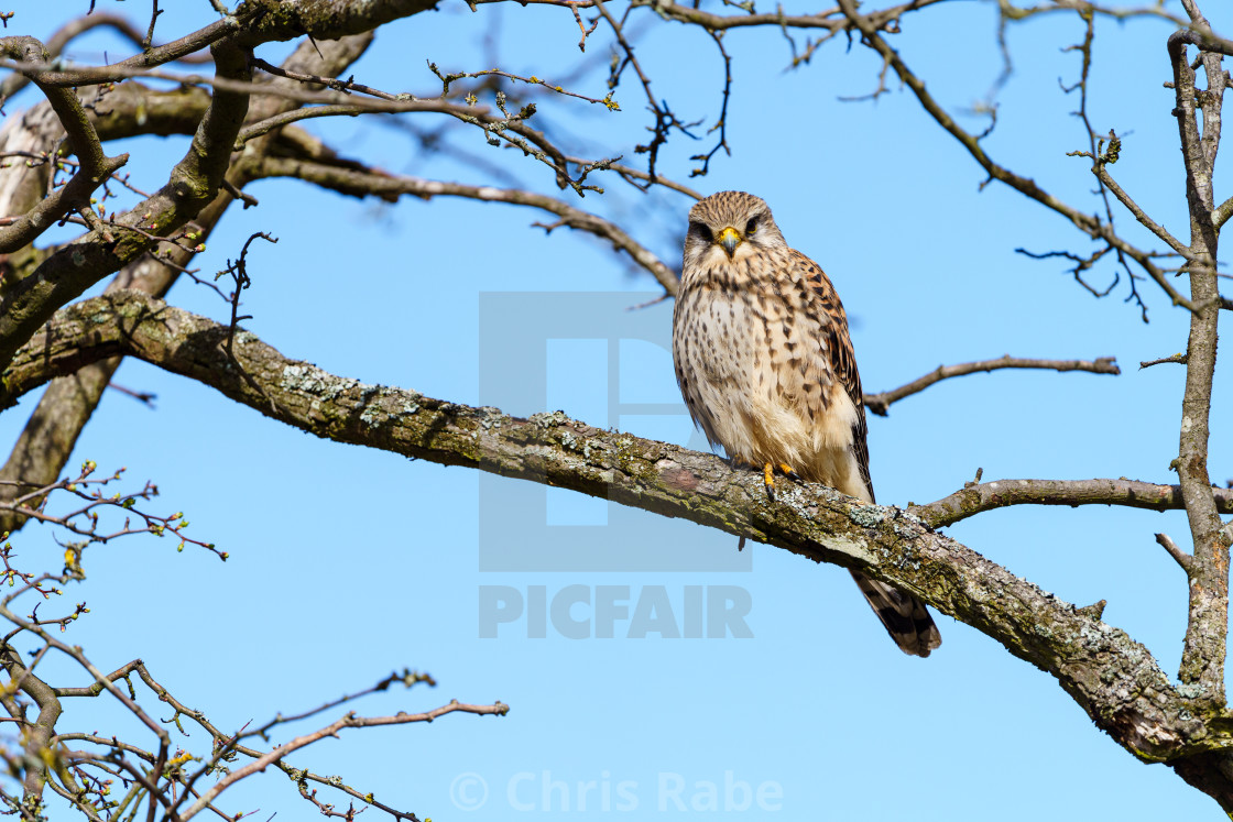 """Common Kestrel (Falco tinnunculus) perche in a tree looking at camera, taken..."" stock image"