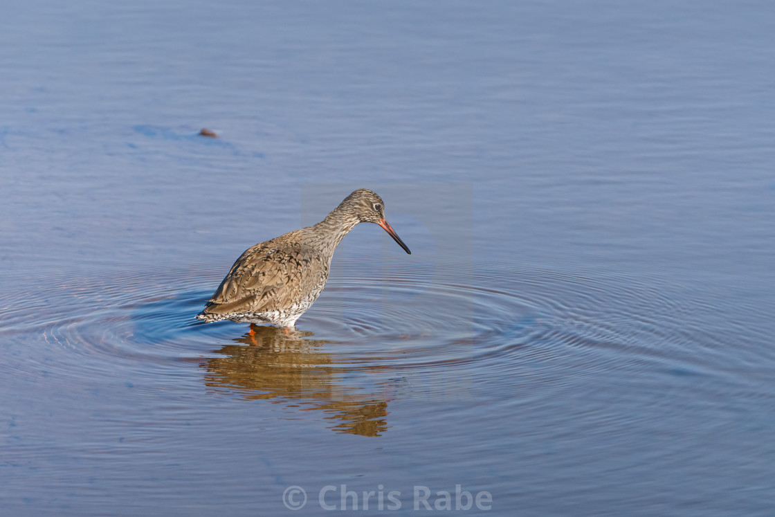 """redshank (Tringa totanus) searching for food in shallow water, in England"" stock image"