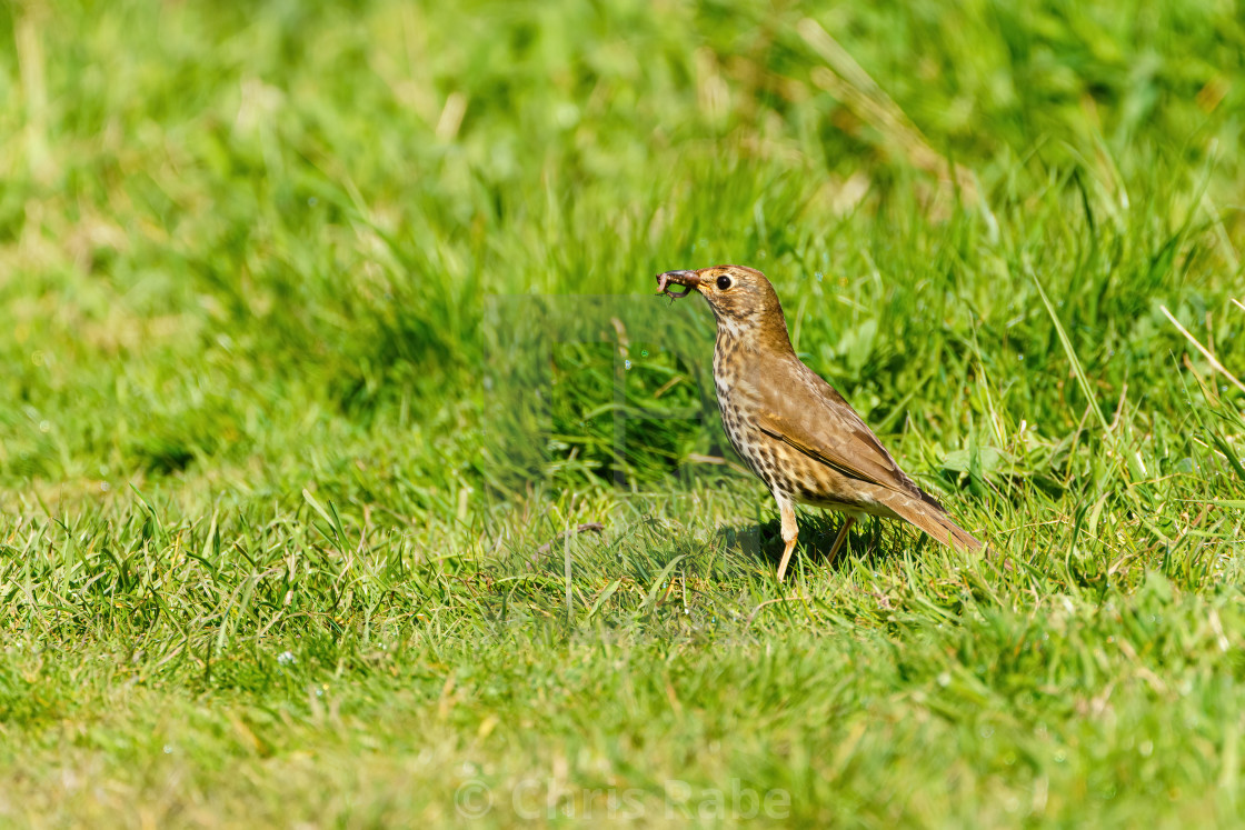 """Song Thrush (Turdus philomelos) with caught worm, taken in the UK"" stock image"