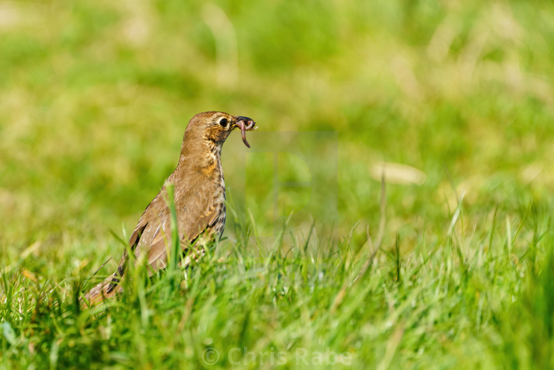 """Song Thrush (Turdus philomelos) with worm in it's beak, taken in the..."" stock image"