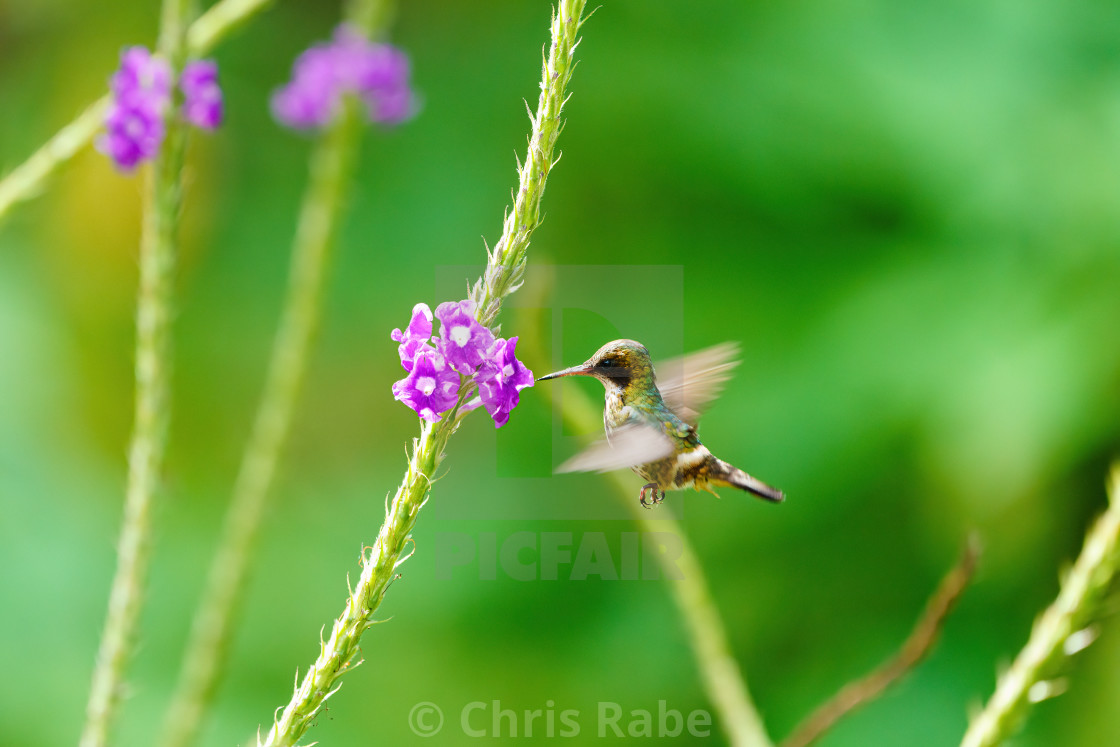 """Black-crested Coquette (Lophornis helenae) in flight, feeding, in Costa Rica"" stock image"