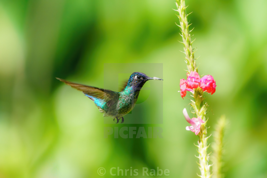 """Purple-bibbed Whitetip (Urosticte benjamini) hummingbird hovering near flower..."" stock image"