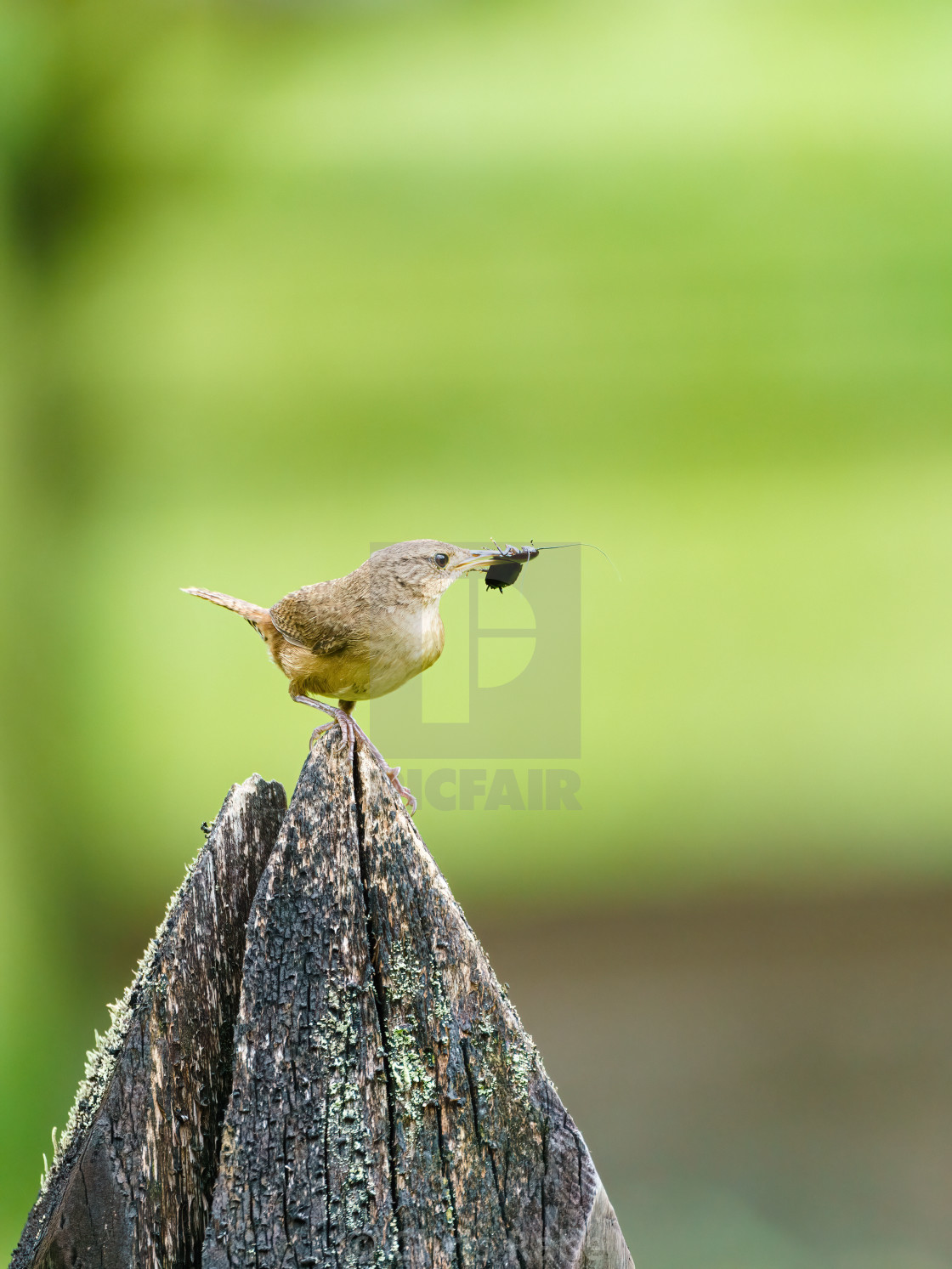 """House Wren (Troglodytes aedon) perched on a fence post, in Costa Rica"" stock image"