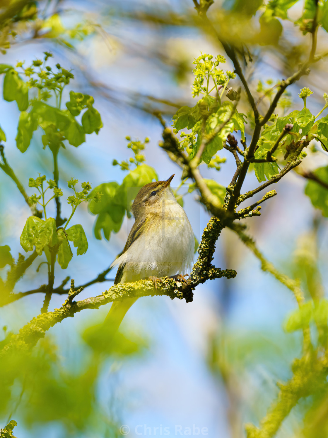 """Willow Warbler (Phylloscopus trochilus) portrait looking up, taken in UK"" stock image"