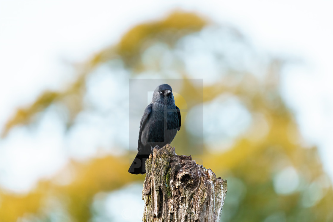 """Jackdaw (Corvus monedula) on top of a tree stump, taken in the UK"" stock image"