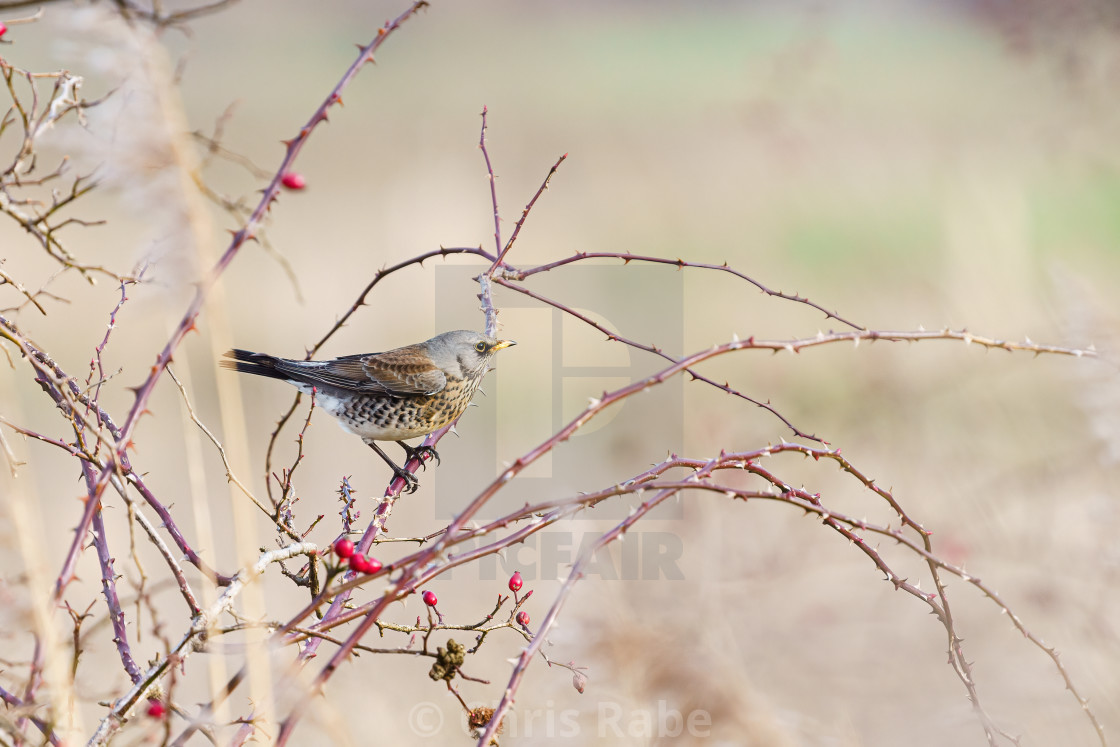 """Fieldfare (Turdus pilaris) searching for berries in winter in Essex, England"" stock image"